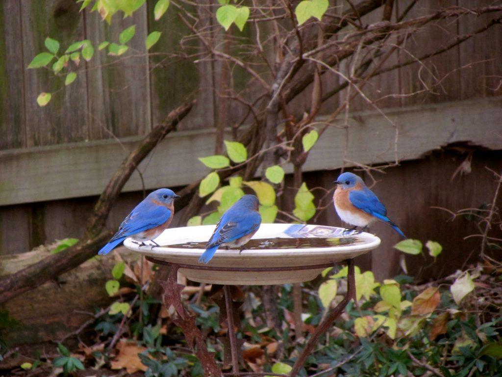 Bluebirds. Photo by Betsy Garrett.